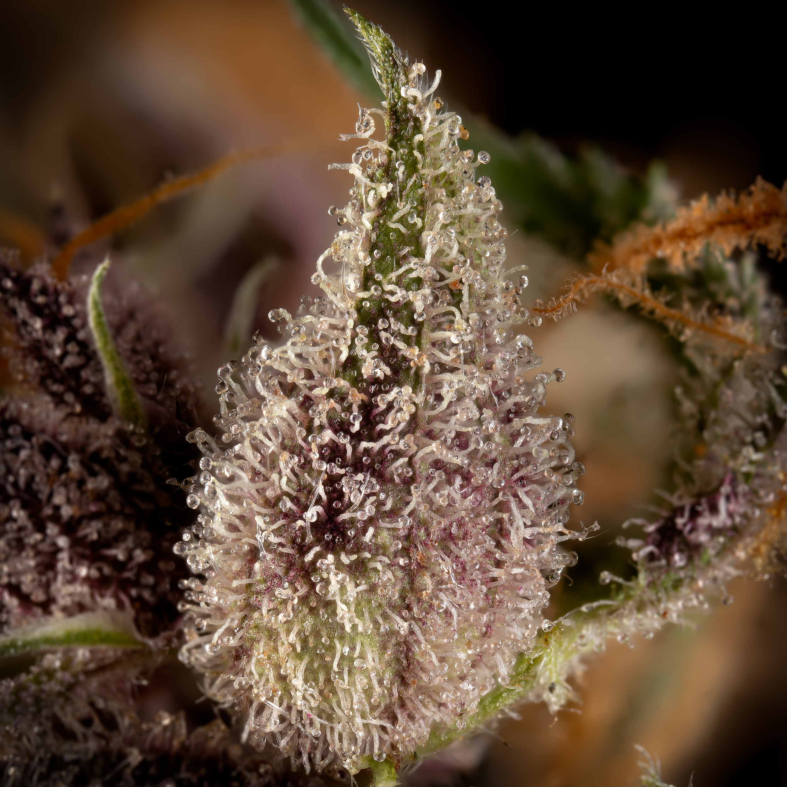 Jackberry trichomes