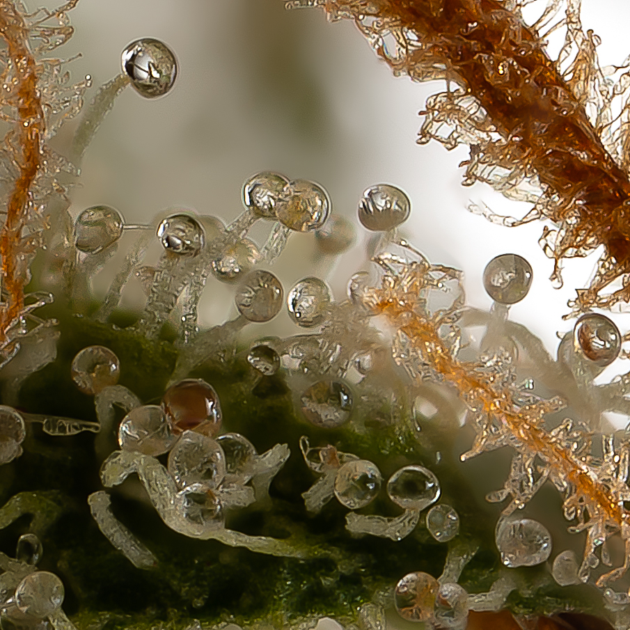 Trichome forest