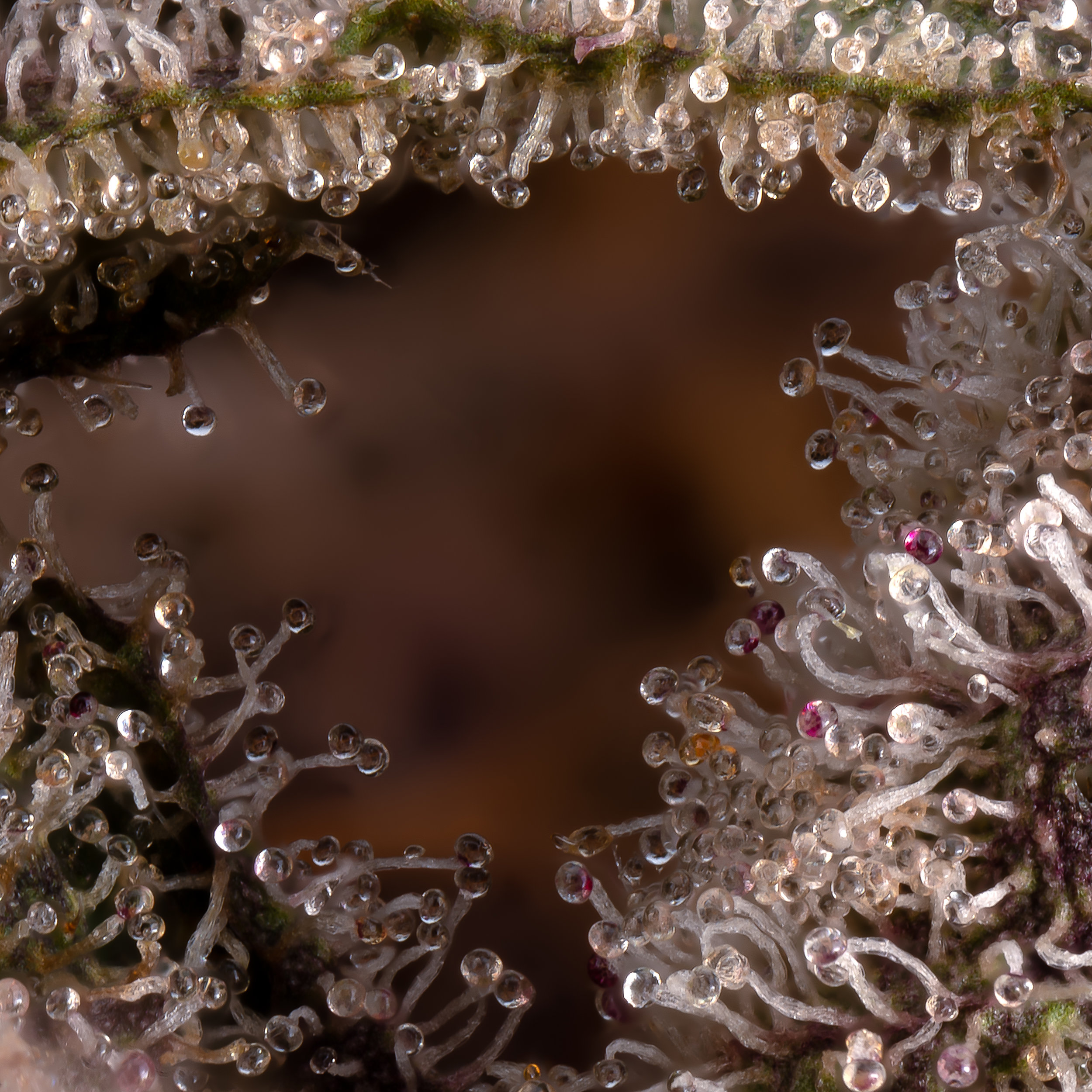 Shark mouth of trichomes