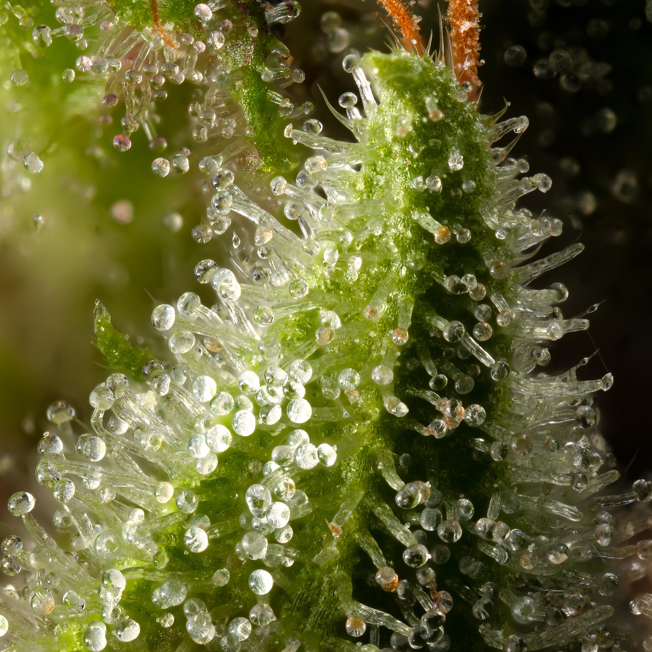 Silverfields trichome leaf