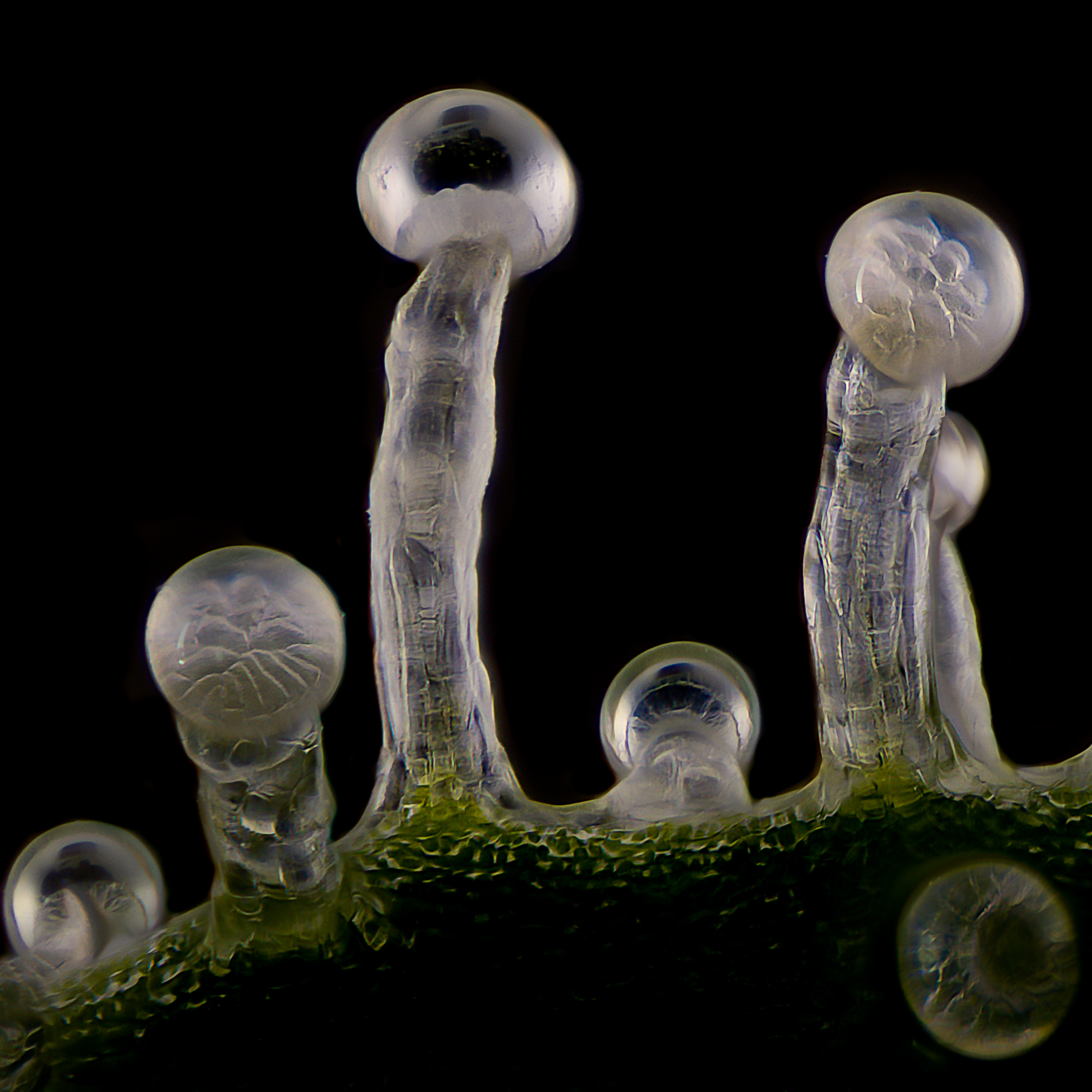 Trichomes in later stage of flowering