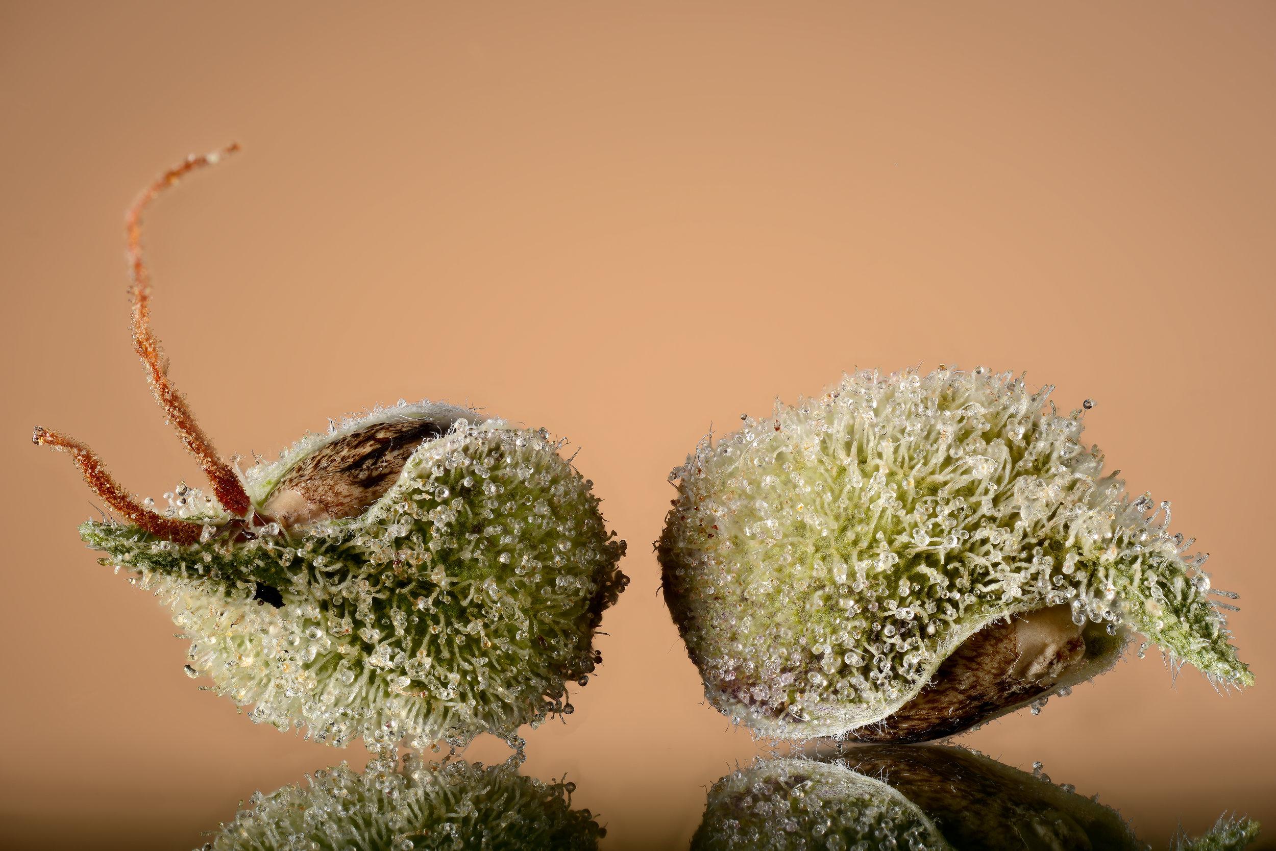 Selene seeds still in the pistil