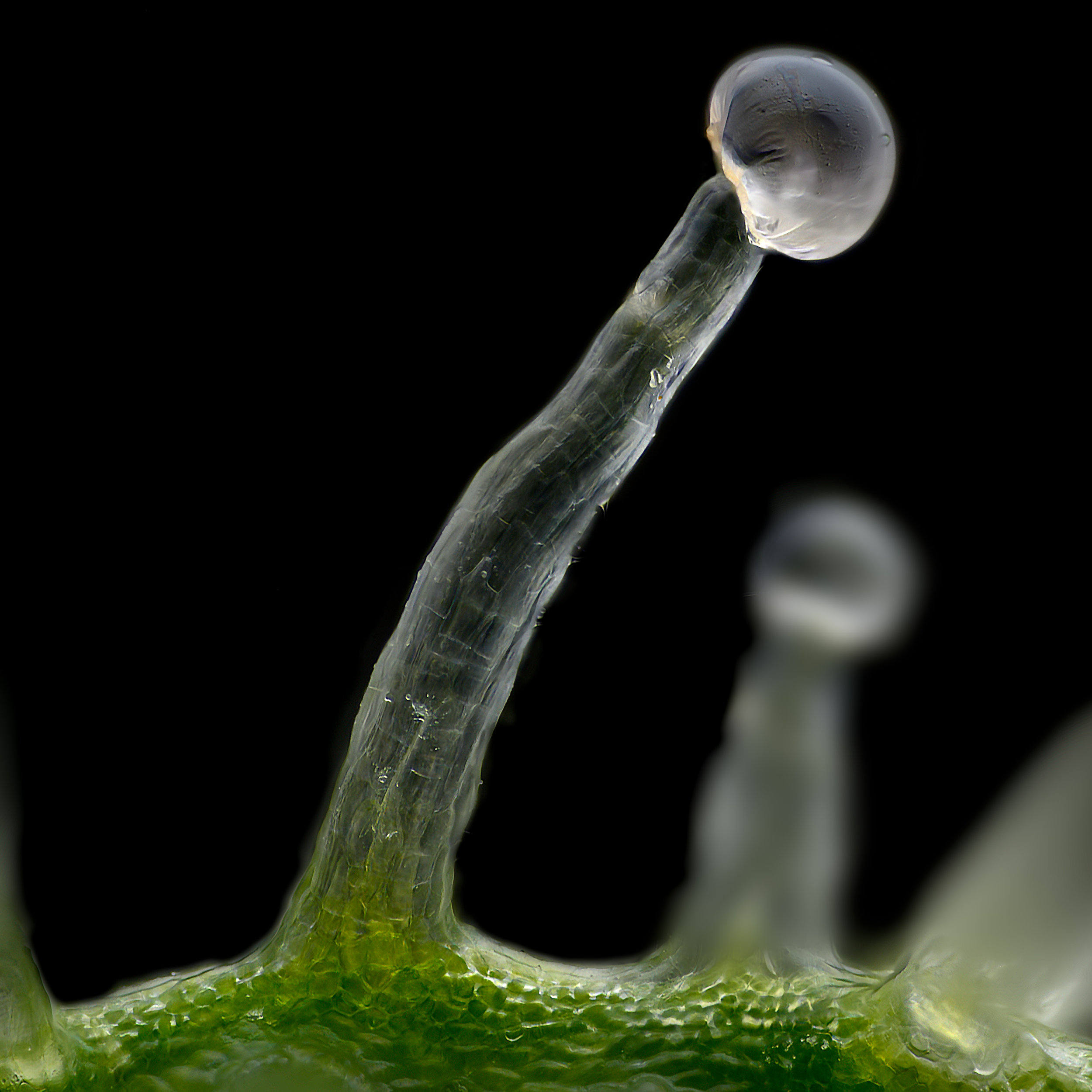 Two sizes trichomes from Herijuana