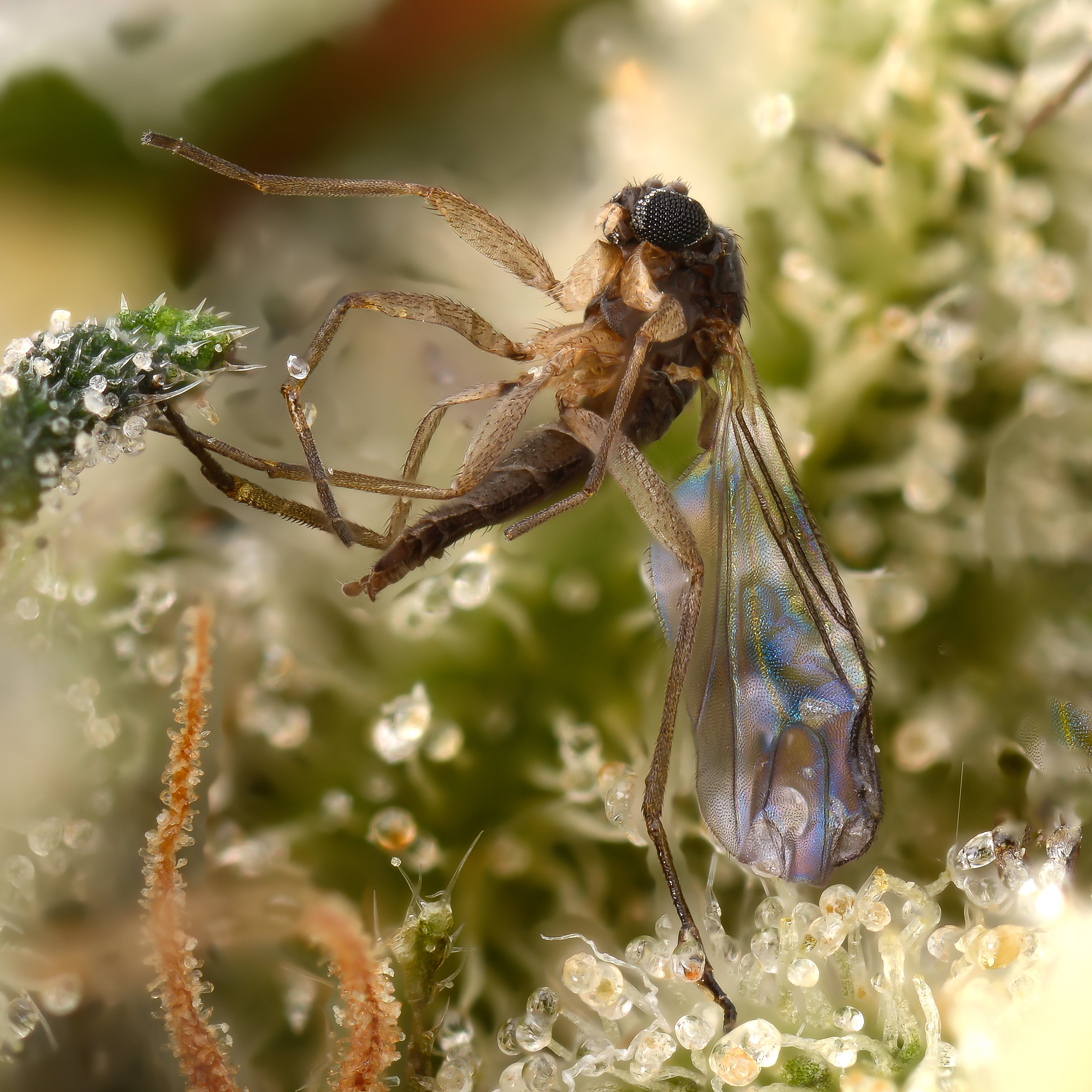 Fungus gnat caught in the trichomes