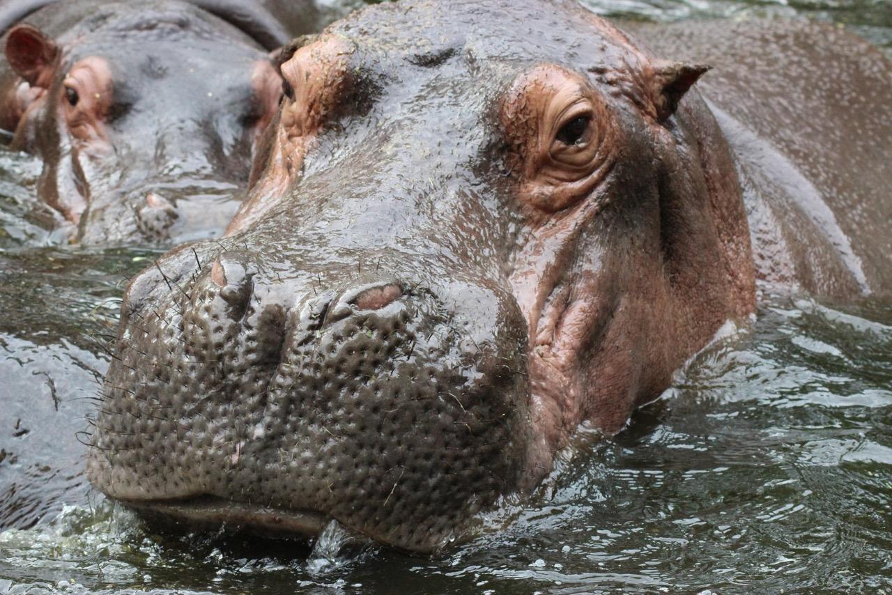 hippopotamus-979486_1920.jpeg
