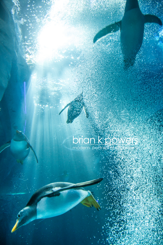 Brian K Powers Photography Penguins Detroit Zoo 002.jpeg