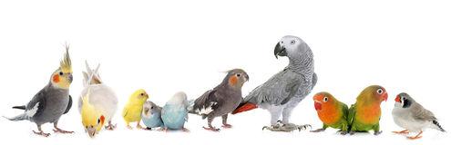 group-birds-common-pet-parakeet-african-grey-parrot-lovebirds-zebra-finch-cockatielin-front-white-background-66873286.jpg