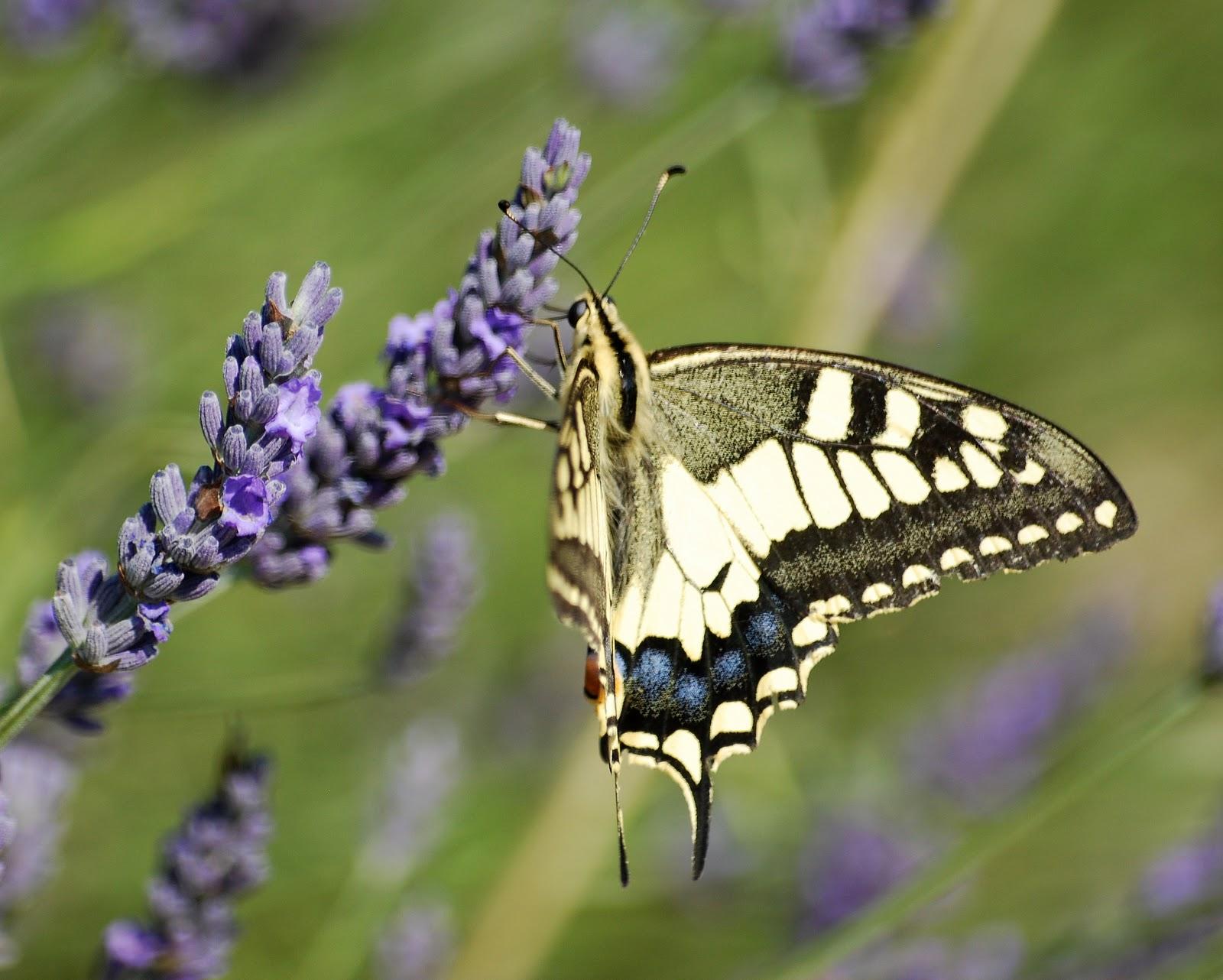 Papilio-machaon-lausanne.jpg