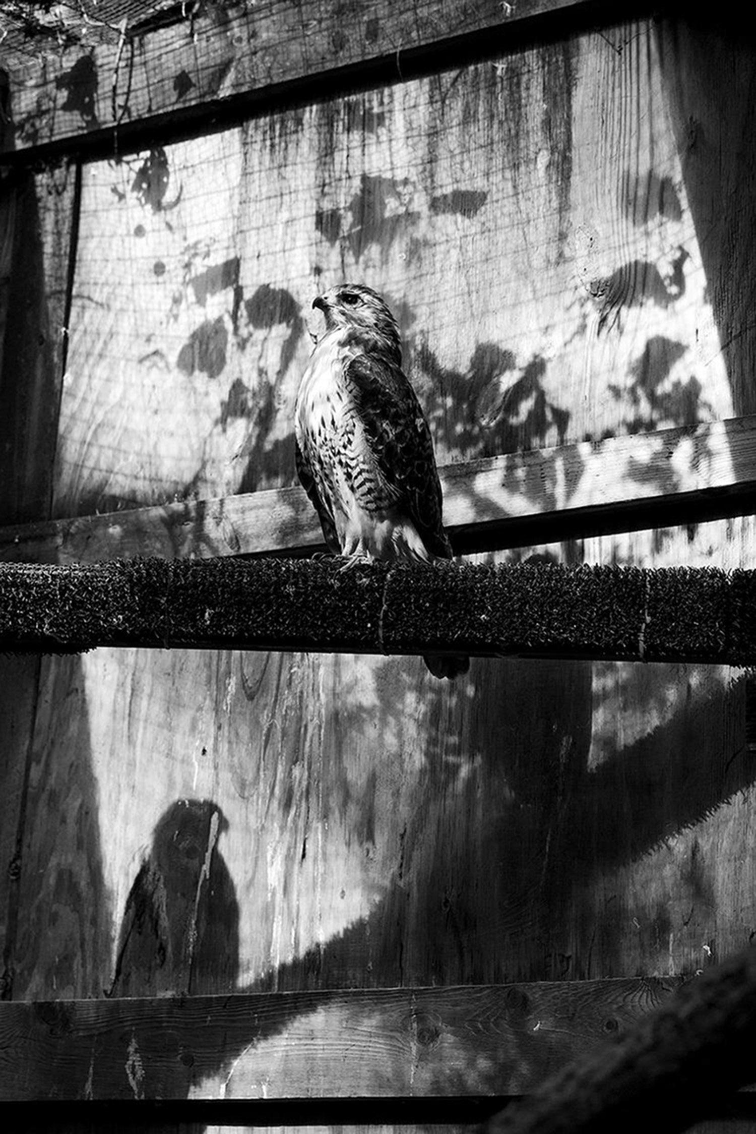hawk-shadow-72.jpg