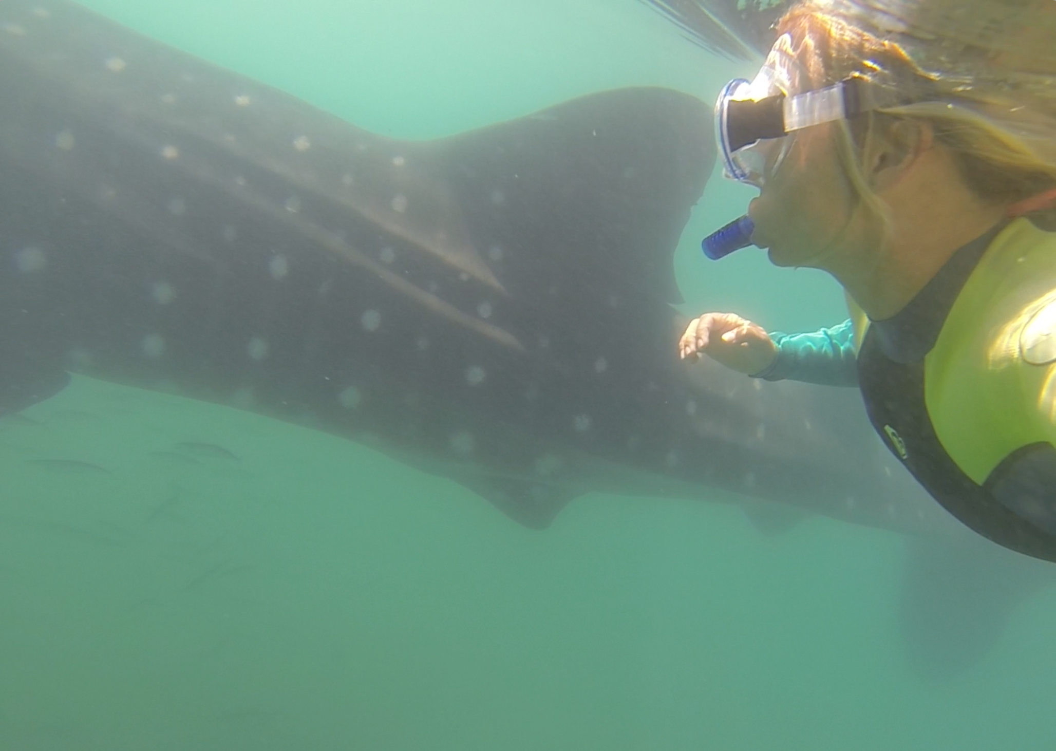 Swimming with the whale sharks, La Paz, Mexico.