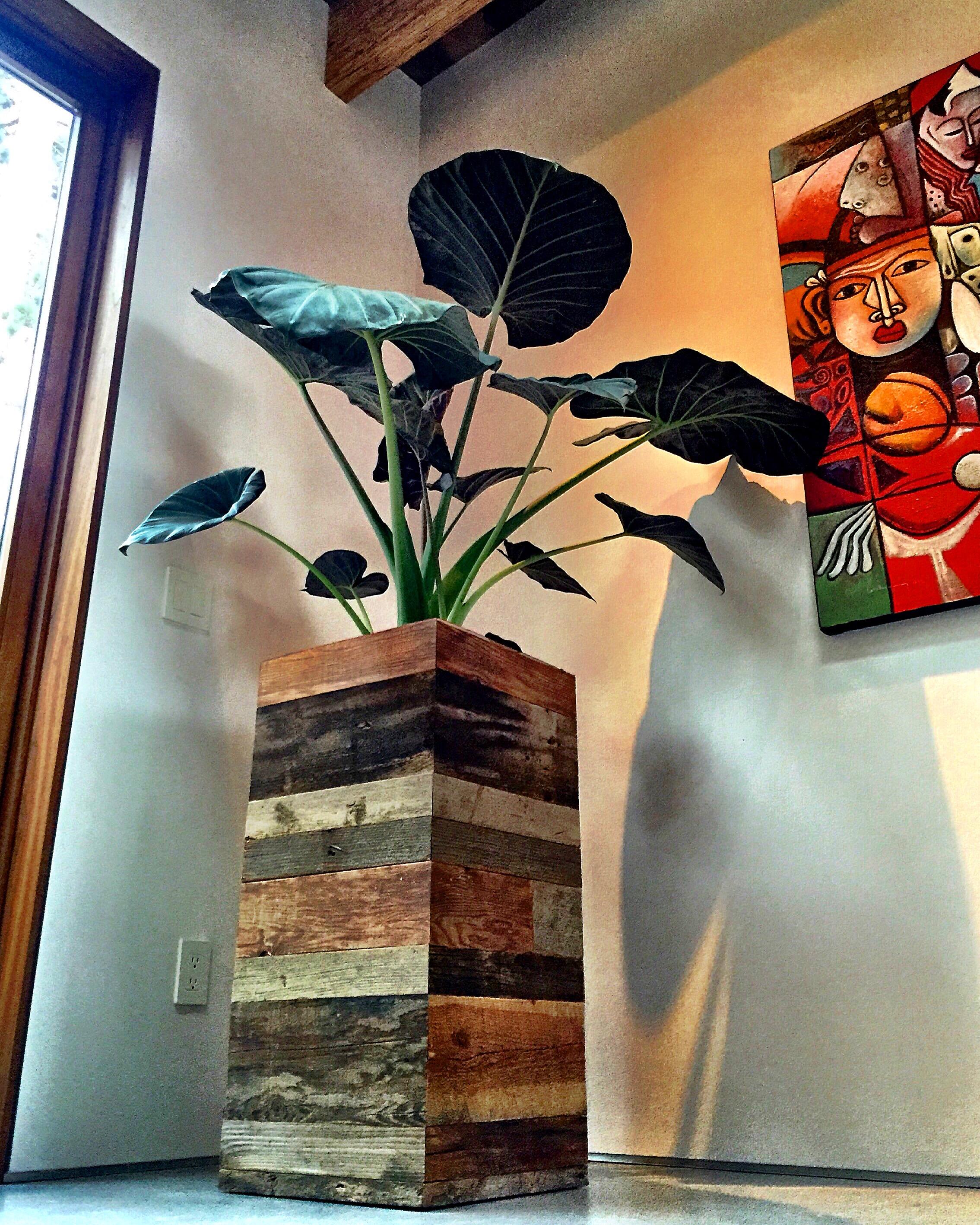Barn wood planter box I designed and built. Elephant Ear tropical plant.