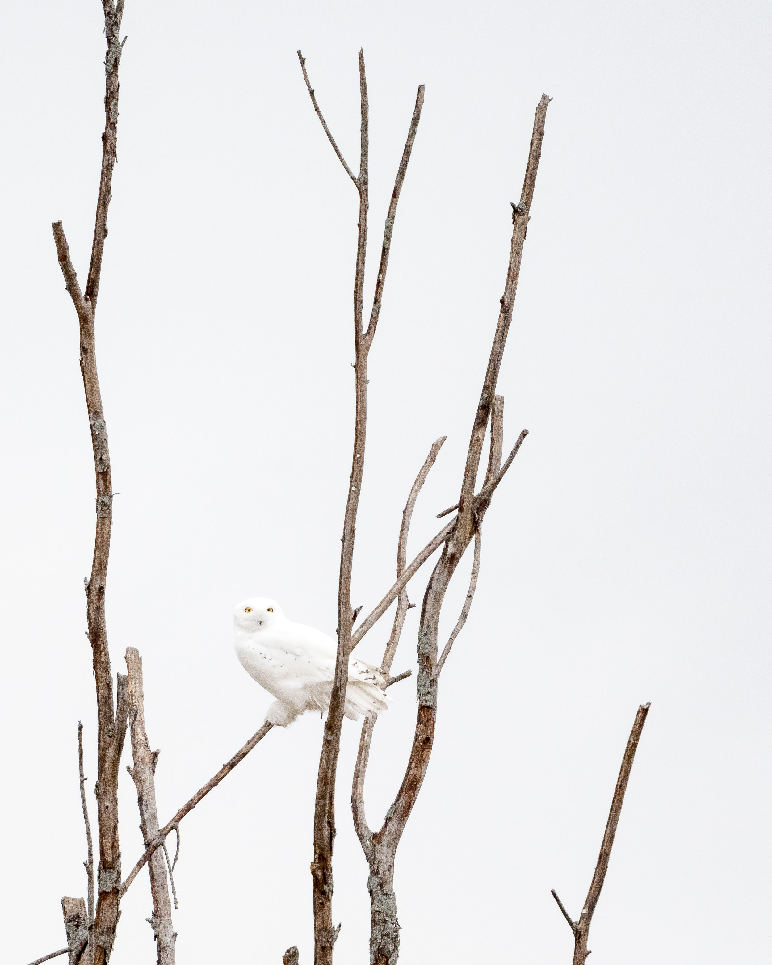Snowy Owl high up in a dead tree. Nikon D500 - Nikkor 500mm PF f/5.6. Shot with 1.4 tc iii ISO 1600 - 1/640sec