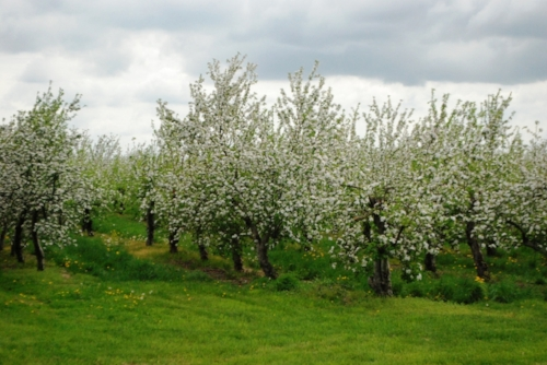 An apple orchard in bloom.