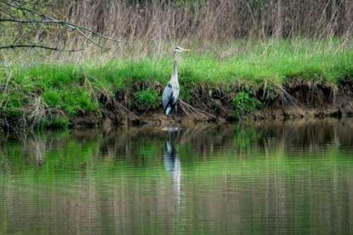 Another Blue Heron sighting.
