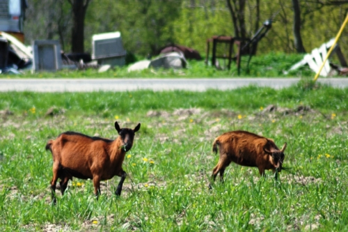 Another instance of un-fenced goats, this time along US 40. Are goats trainable like dogs?