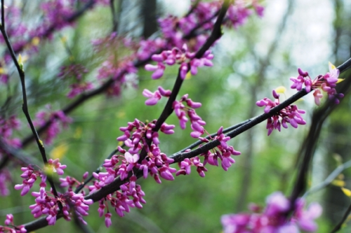 A redbud tree in bloom. Apparently purple wasn't a color yet when this tree was named.