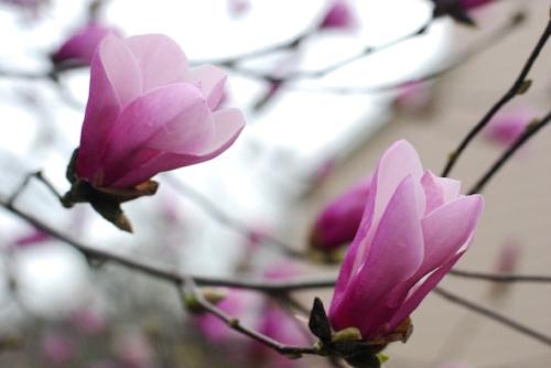 Magnolias. A springtime favorite