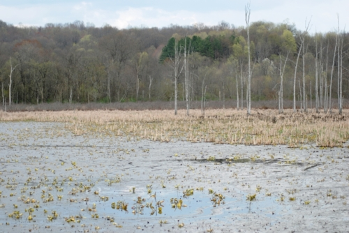 An Ohio swamp. Is that an alligator?