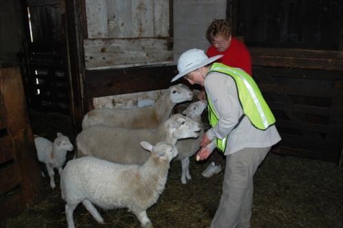 Tara feeding the sheep
