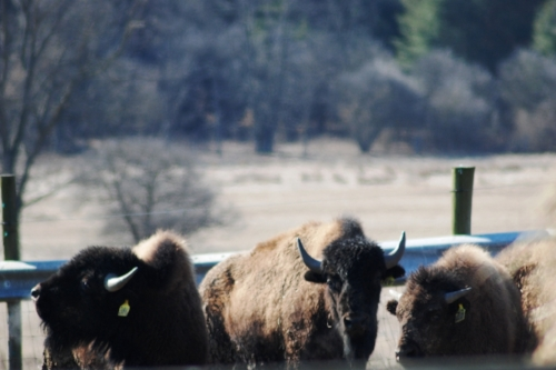 The bison were afraid of us. The carts must make us look intimidating.
