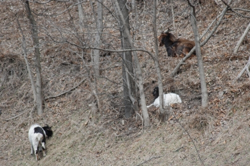 These guys were on the side of the road, un-fenced. They appear to be a domestic breed. Perhaps they escaped and are now wild.