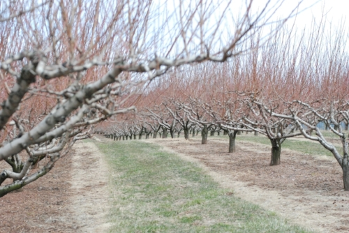 One of many apple orchards that dot the hillsides