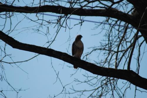A hawk keeping an eye on us