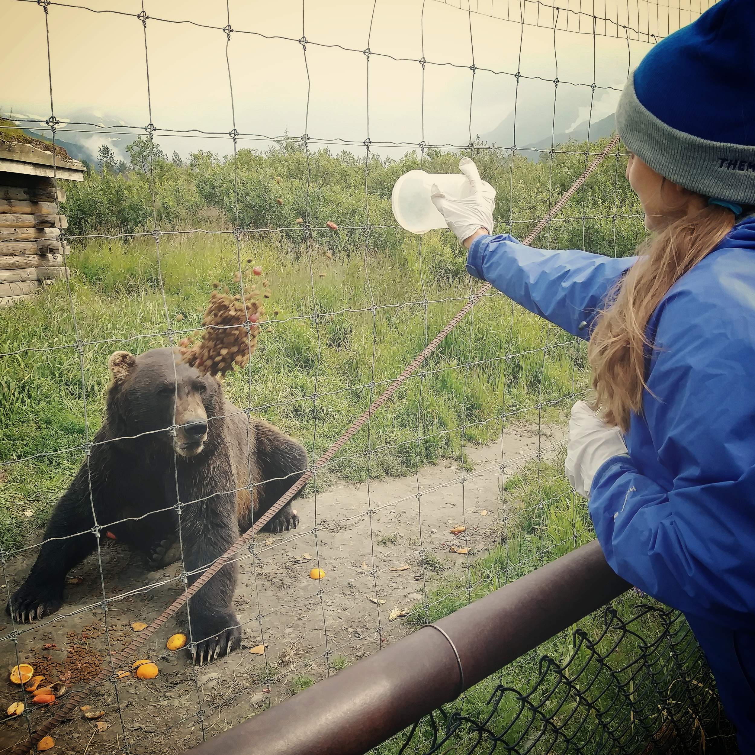 Despite the misleading angle of this photograph, and the slightly perturbed look on the bear's face, Tara was not actually throwing food on him.