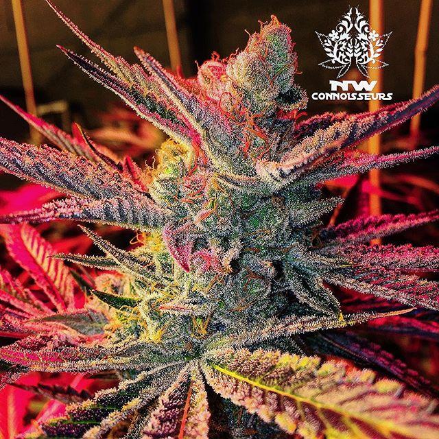 ~Imagination is more important than knowledge~ #alberteinstein  @nwconnoisseurs . . . . . #bluecookies#happythanksgiving#gobblegobble#orcasislandgrown#straightouttaeastsound#nwc#ilovemyjob#i502#cannabis#nwconnoisseurs#pnw#cannabiscommunity#sanjuandabbers#washingtonsfinest#710society#stillfarming#islandstoners#orcasisland#weedstagram#highsoceity#topshelf#loil#seattlestoners#terpenes#trichomes#islandvibes