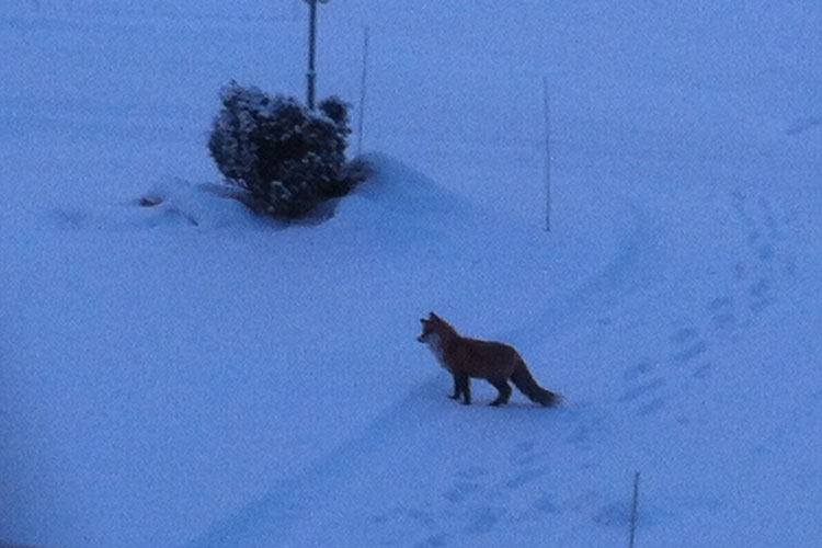 Fox02.jpg
