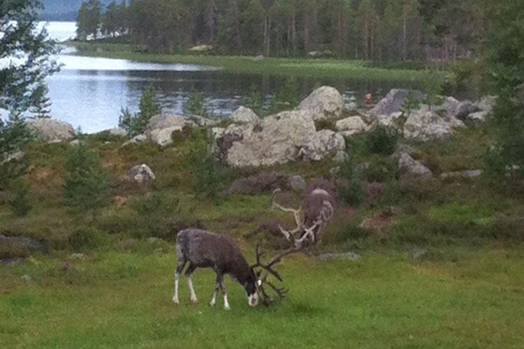 Reindeer01.jpg