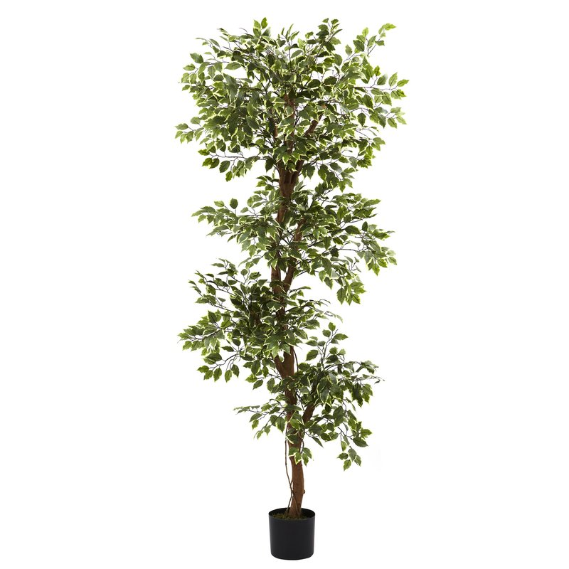 Variegated Ficus Tree in Pot