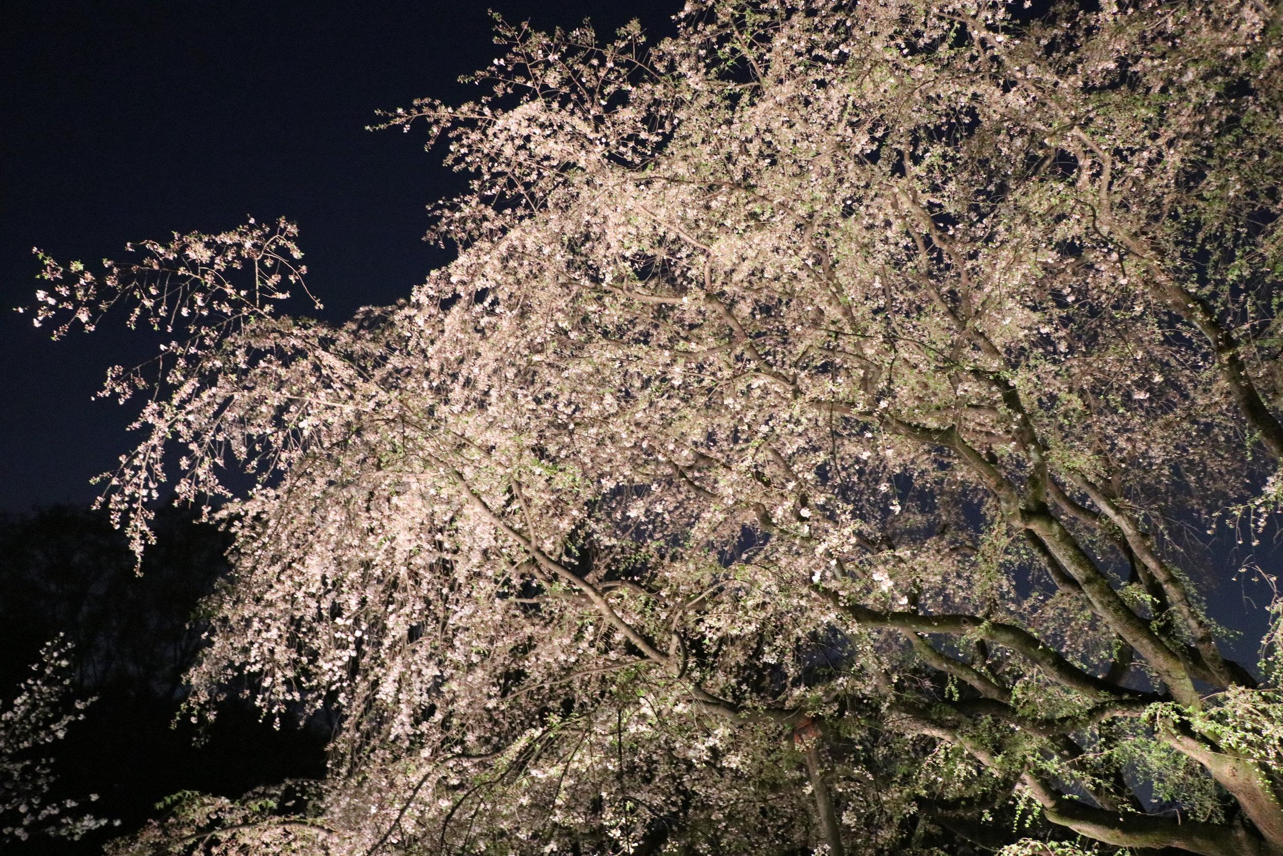 Top 10 Cherry Blossom Tokyo Spots rikugien