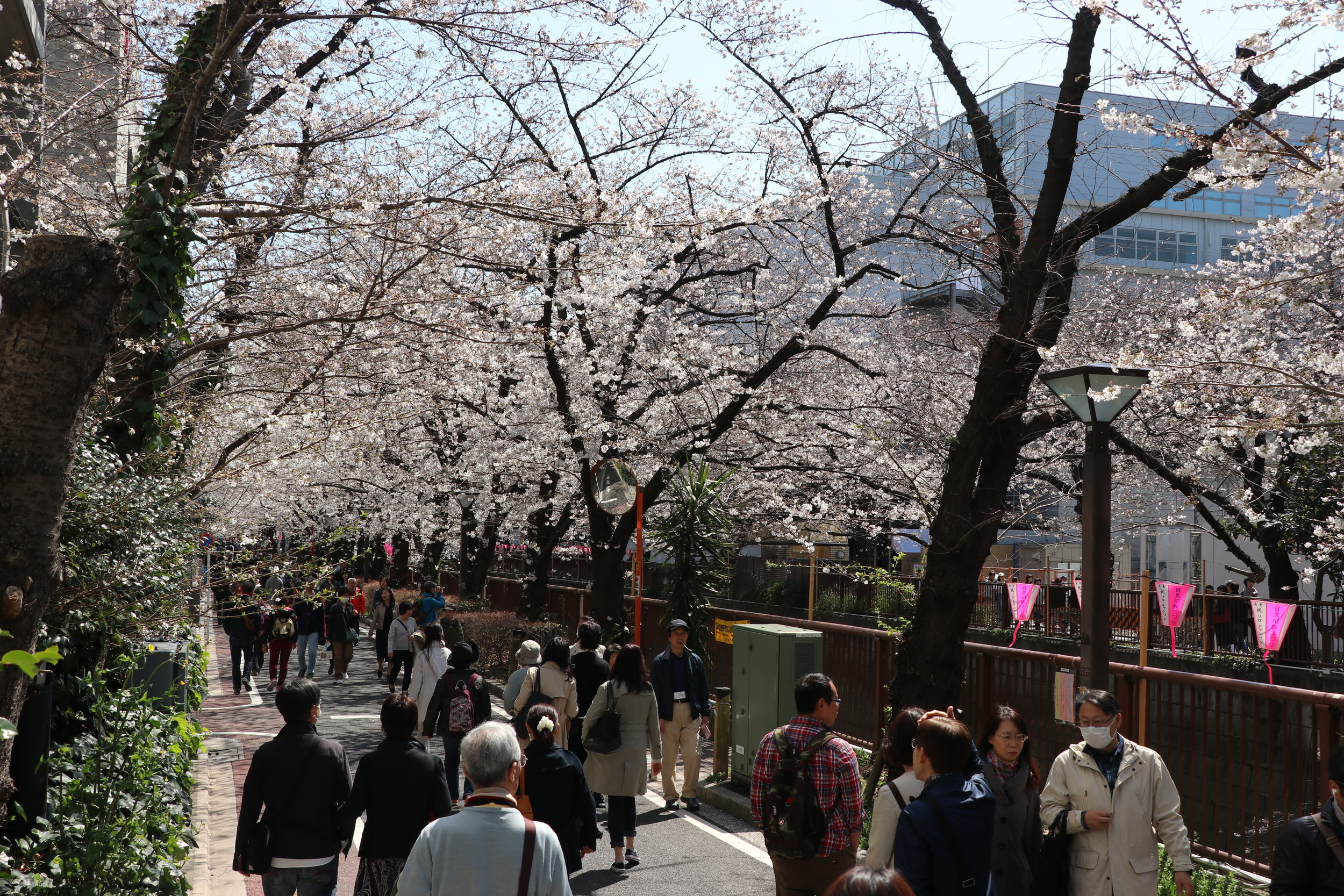 top 10 cherry blossom meguro river
