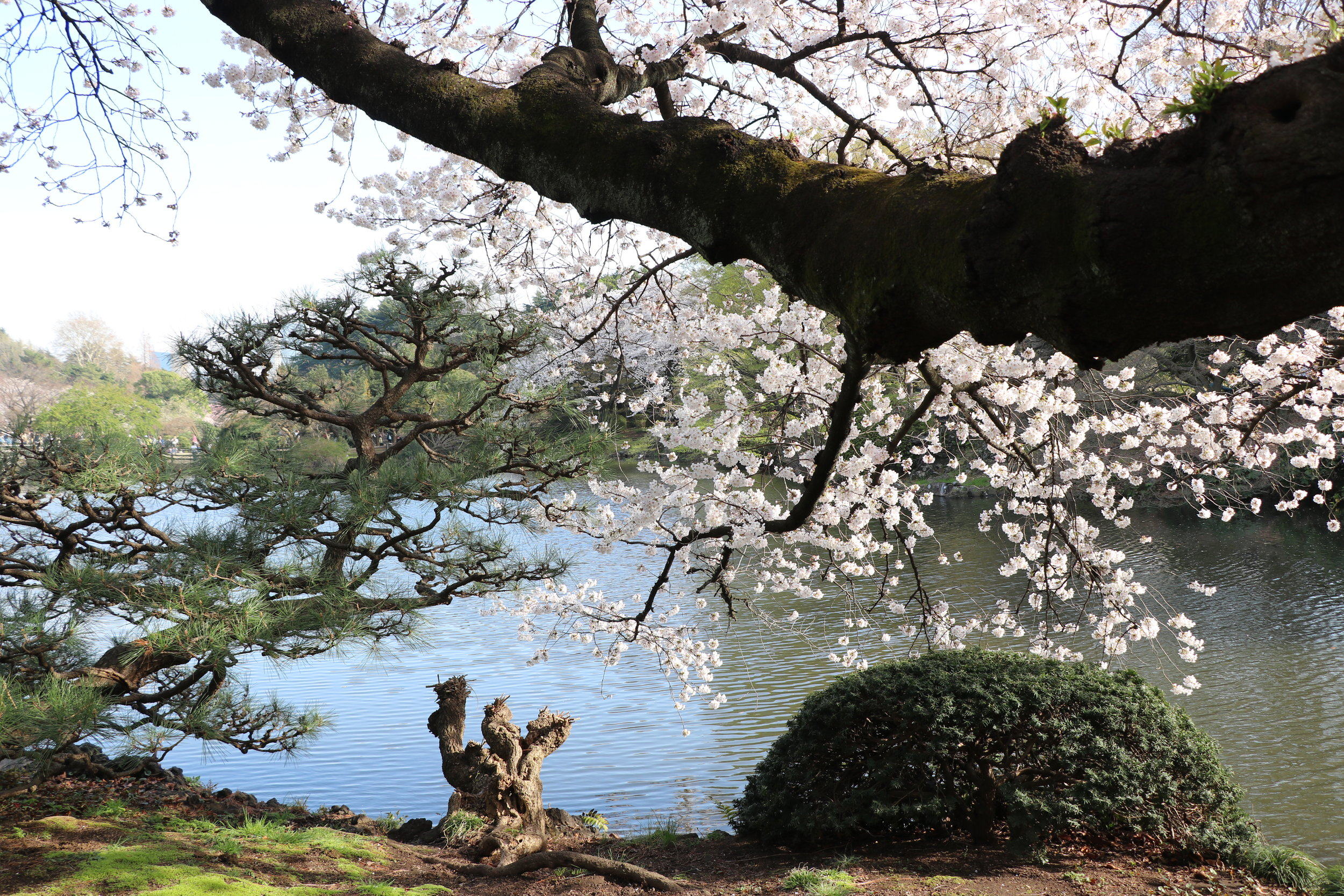 top 10 cherry blossom in tokyo
