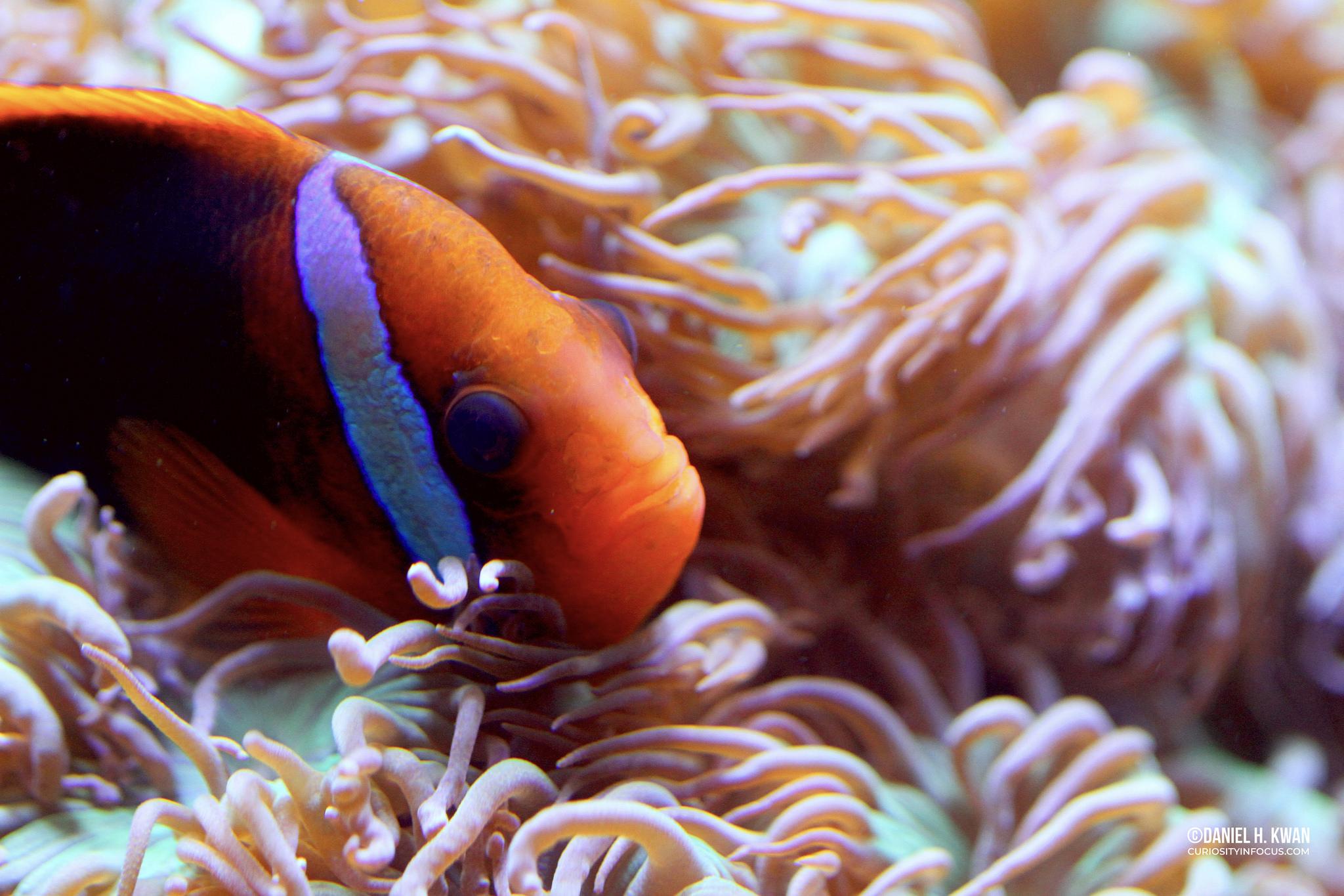 Fire Clown Fish_WM