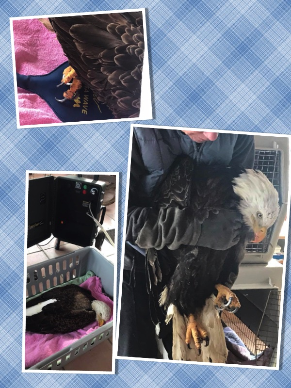 """Harlaut"" the eagle had his 5th Magna Wave treatment yesterday and he is doing so well. Northern Michigan has yet to see the likes of spring but as soon as it does make an appearance, Rebecca said Harlaut will be able to start going out in a flight pen regularly. As with any treatment on these animals, it's been very important to weigh the benefits of the treatment with the stress inflicted upon them during the treatment. Having never worked with raptors, it's almost unbelievable to see how little stress this seems to put on the bird. We've been warned that Harlaut may be the exception and our next patient may not be quite as complacent, but we don't mind. This has been the most amazing experienc"