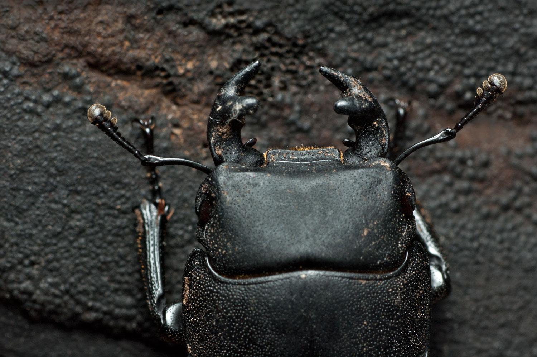Lesser-Stag-Beetle-01-1500.jpg