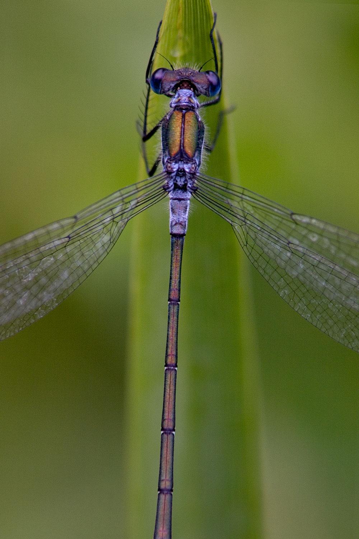 Male-Emerald-Damselfly-01-1500.jpg
