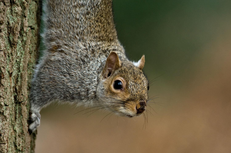 Grey-Squirrel-01-1500.jpg