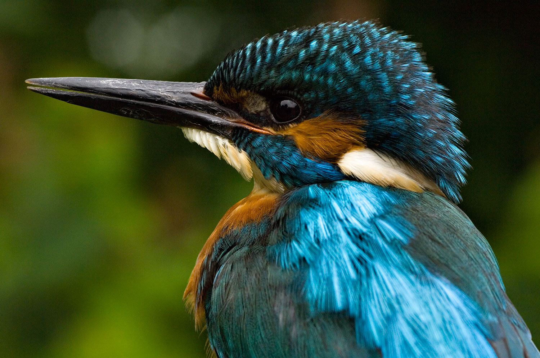 Kingfisher-01-1500.jpg