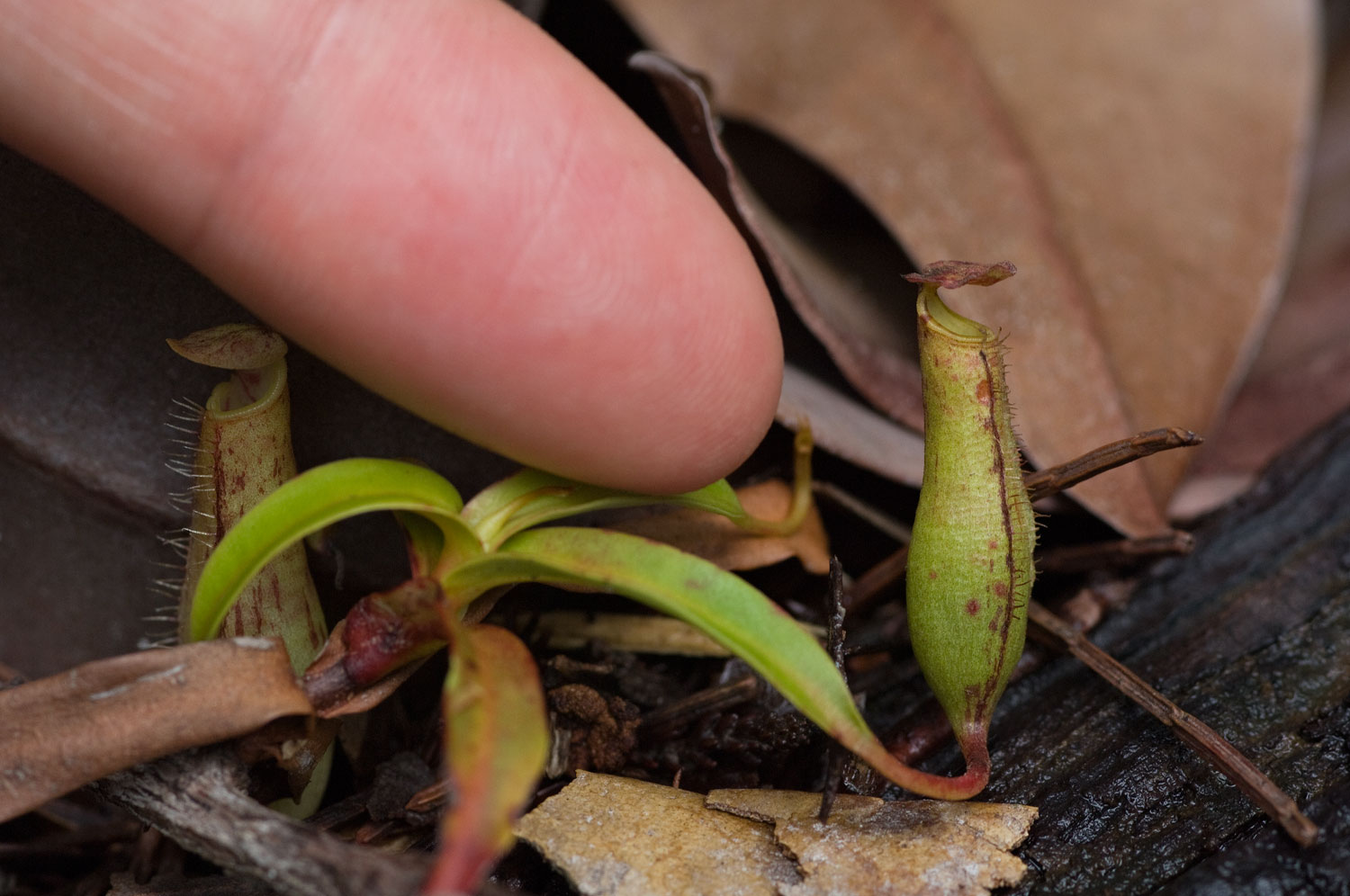 Mini-Nepenthes-Gracilis-01-1500.jpg