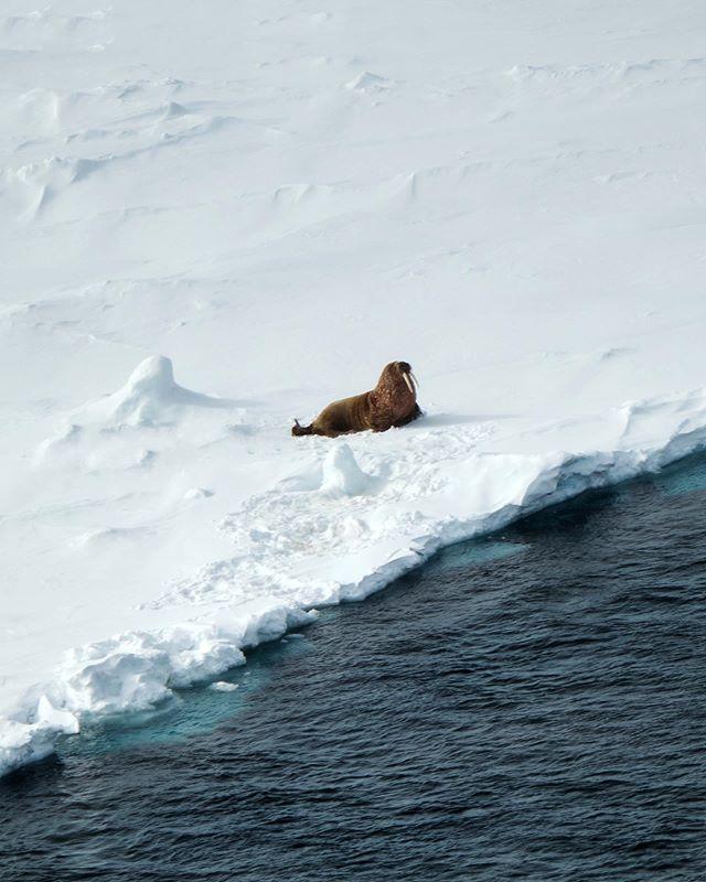 Атлантический морж. Тоже жирный как и ты.  Atlantic walrus. Also fat as you. #natgeowild #natgeoyourshot