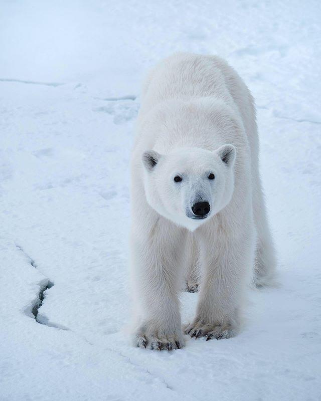 """Бе́лый медве́дь, или полярный медведь, северный медведь, ошкуй, нанук, умка - это по чукотски кстати. (лат.Ursus maritimus— «медведь морской»),— хищное млекопитающее семейства медвежьих, близкий родственник бурого медведя. Второй по величине сухопутный хищник планеты после гребнистого крокодила. Его так же часто называют королем Арктики.  В мифах и преданиях эскимосов белый медведь нанук также является воплощением грозных сил природы, в противоборстве с которыми происходит взросление мужчины-охотника, происходит его инициация. Это представление эскимосов о белом медведе нашло своё отражение в рассказе американского писателя Джека Лондона «Сказание о Кише». В течение Экспедиция Трансарктика 2019 мы встретили порядка 5 медведей. White bear, or polar bear, northern bear, oskuy, nanuk, umka - this is Chukchi language by the way. (Latin Ursus maritimus - """"sea bear""""), is a predatory mammal of the bear family, a close relative of the brown bear. The second largest land predator of the planet after the crescent crocodile. He is also often called the king of the Arctic. In the myths and legends of the Eskimos, the polar bear nanuk is also the embodiment of the formidable forces of nature; This presentation of the Eskimos about the polar bear is reflected in the story of American writer Jack London """"The Tale of Kish"""". #polarbear #umka #arctic #natheowild #natgeoyourshot"""