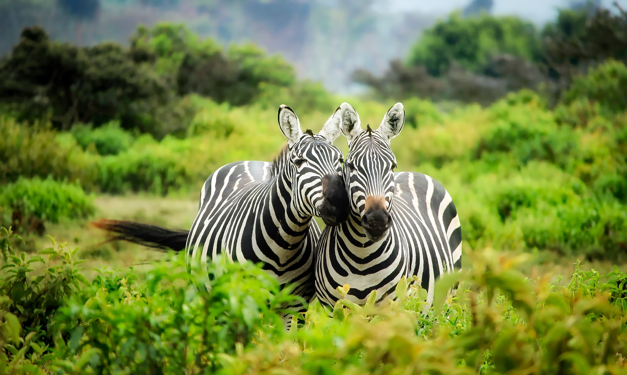 Zebras in Kenya - (Safari)