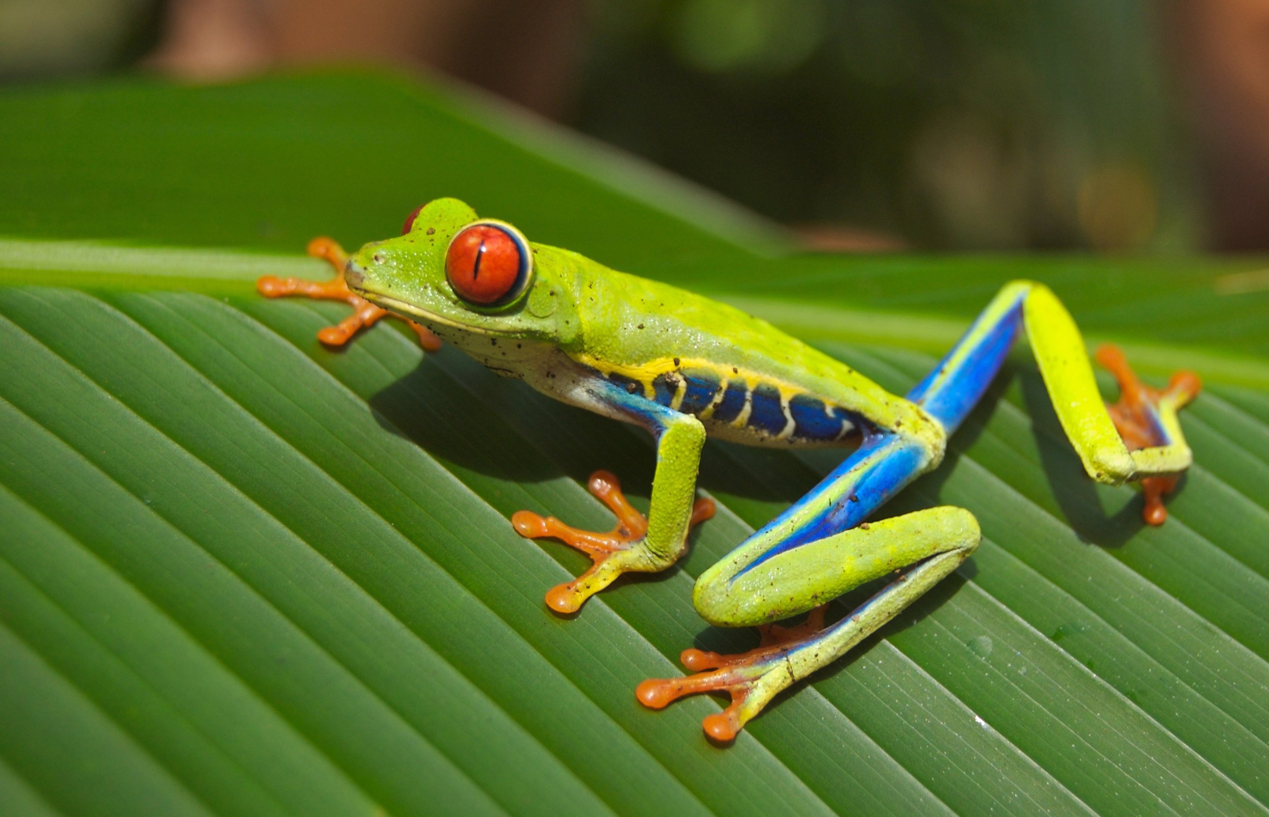 A Tree Frog in Costa Rica