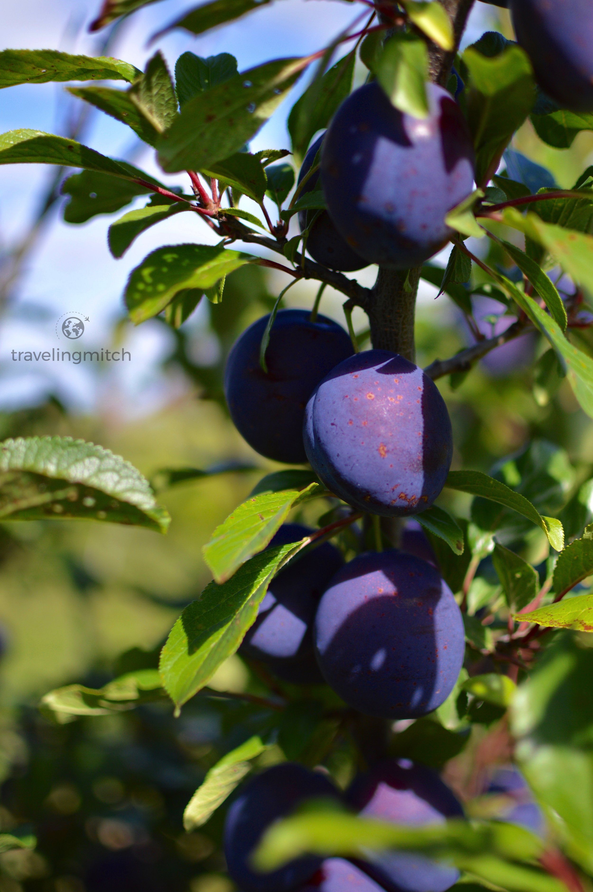 Vibrant plums on the Ocala Orchard Farm Winery property