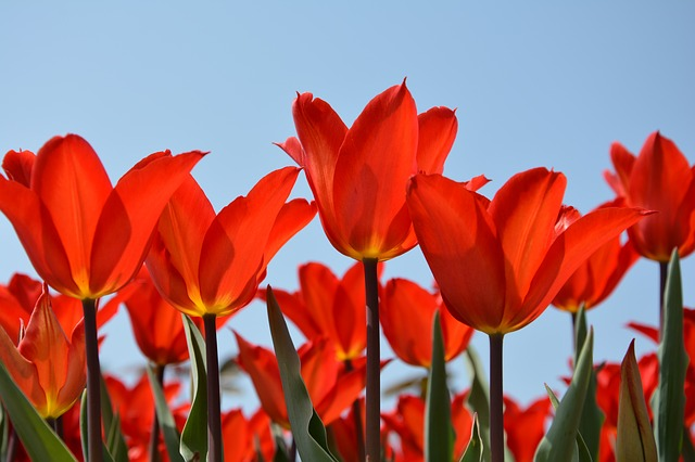 The Canadian Tulip Festival in Ottawa is not to be missed!