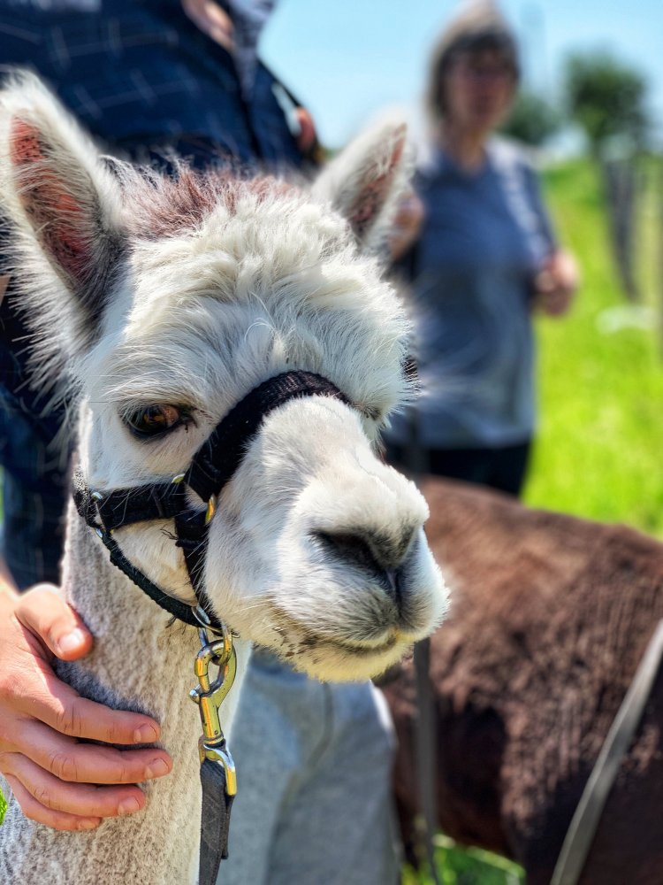 There are so many things to do in Southwestern Ontario, like a visit to SAMY's Alpaca Farm & Fibre Studio just outside Strathroy, Ontario