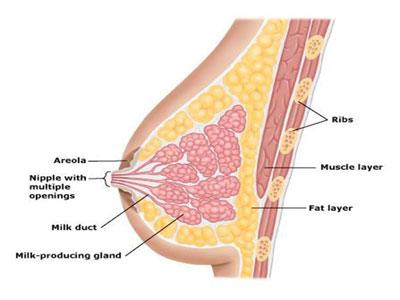 breast-anatomy-1.jpg